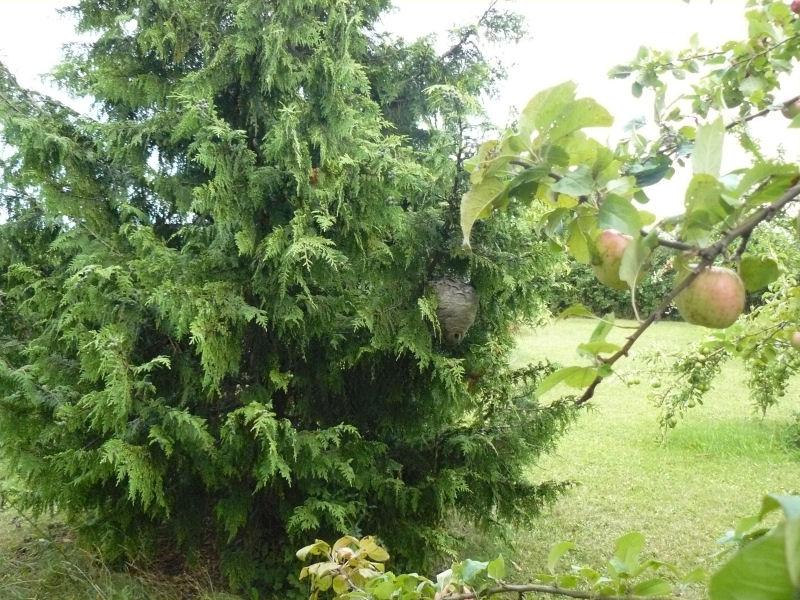 Hvepsebo i Frugthaven på Ægbækgaar